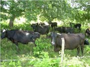 Logran en Camagüey sostenido crecimiento de masa ganadera