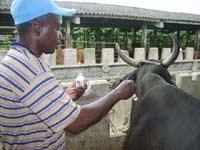 Vacuna para bovinos hecha en Camagüey deviene importante fondo exportable