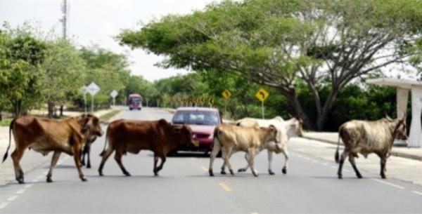 Animales sueltos en carreteras camagüeyanas provocan accidentes de tránsito