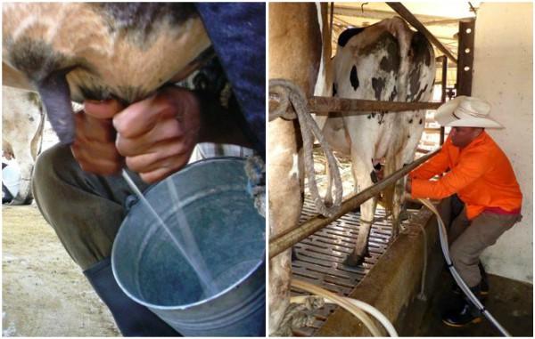 Ganaderos de Vertientes sobrecumplen compromiso con la industria láctea camagüeyana